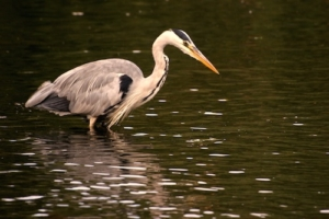 Reiher am Teich