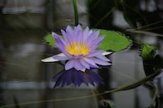 Seerose auf einem Teich