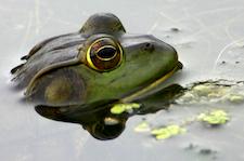 Teich mit Frosch