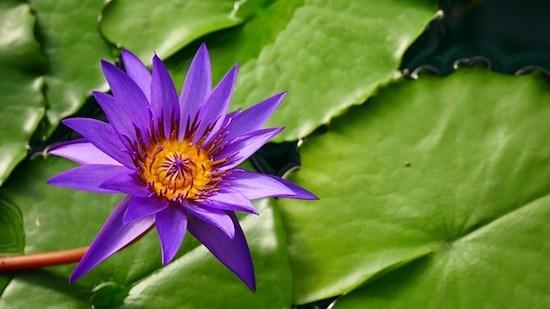Blühende Blume auf einem Teich