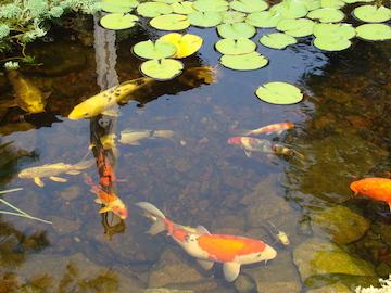 Fische in einer Teichschale