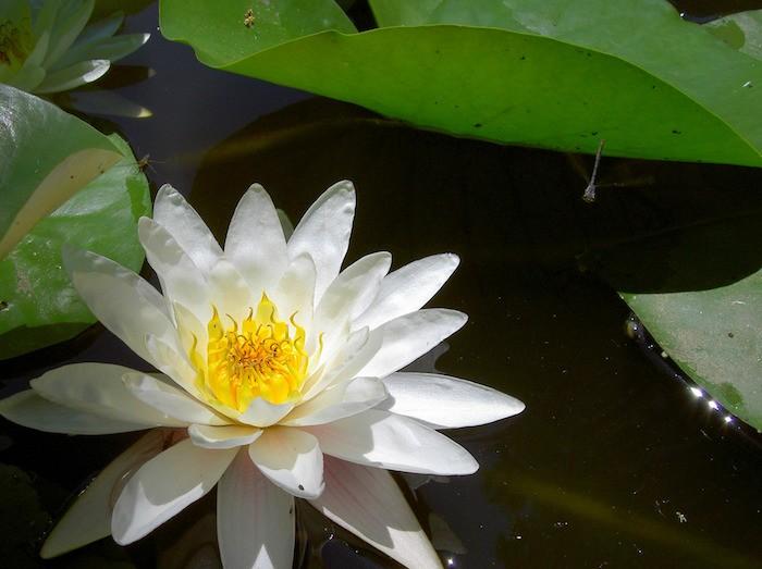 Teich mit Blume